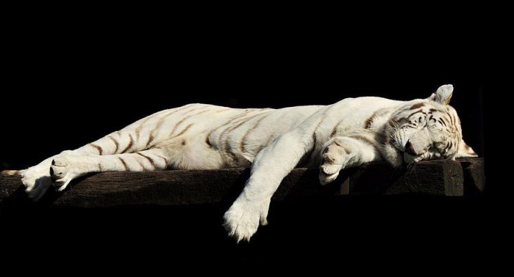 tiger-1285229_960_720.jpg